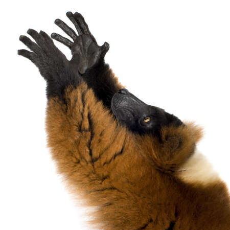 primates: Red Ruffed Lemur in front of a white background