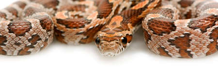 Corn Snake in front of a white background photo