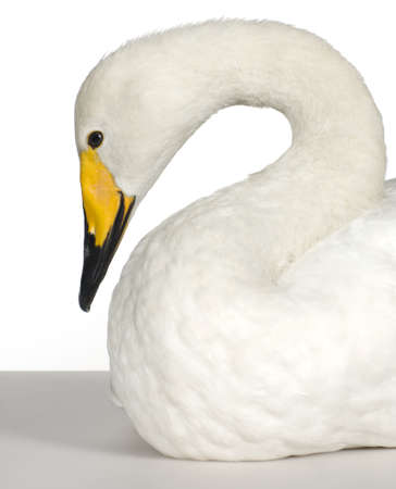 mute swan: Mute Swan in front of a white background Stock Photo