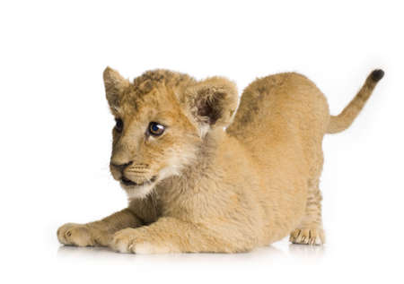 Lion Cub (3 months) in front of a white background. Stock Photo - 1878224