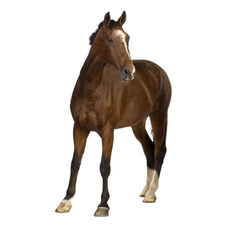 domestic horses: horse in front of a white background