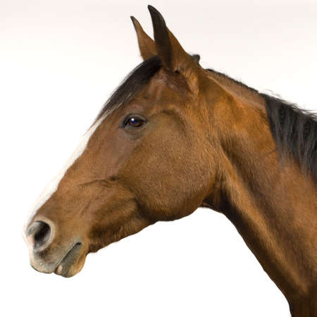 11 years: horse (11 years) in front of a white background