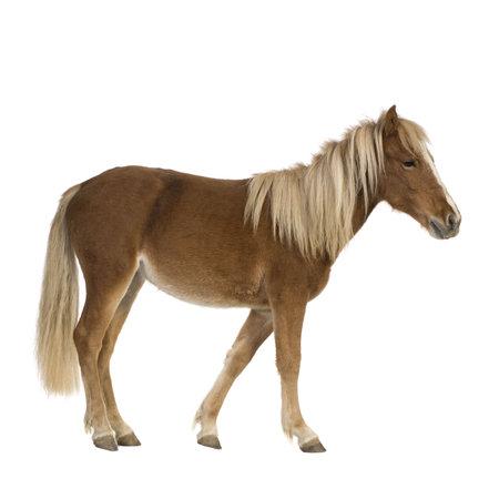 shetland pony: Shetland pony  (2 years) in front of a white background