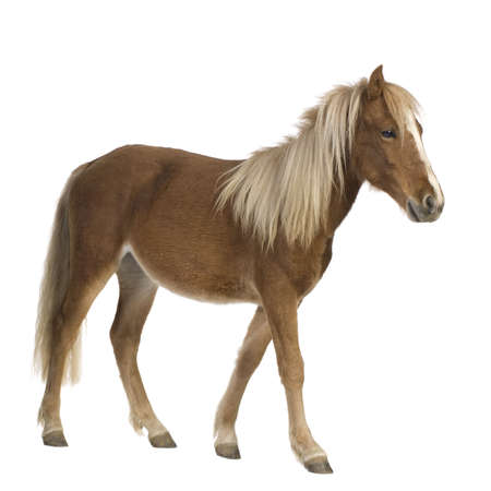 Shetland pony  (2 years) in front of a white background