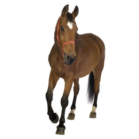 domestic horse: horse in front of a white background