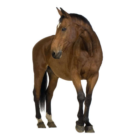 mare: horse in front of a white background
