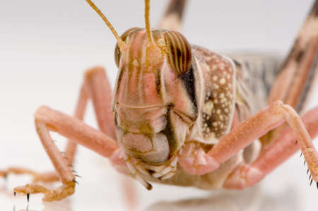Desert locust in front of a white background photo