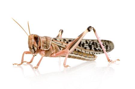 arthropoda: Desert locust in front of a white background