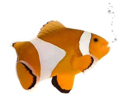 freshwater clown fish: Clownfish in front of a white background Stock Photo