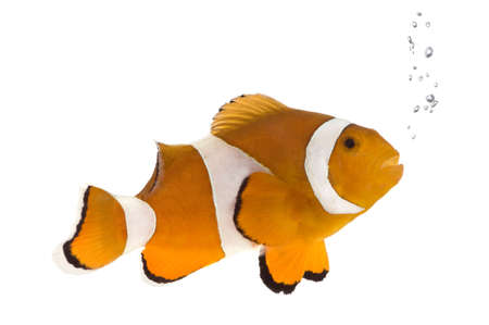 Clownfish in front of a white background Stock Photo