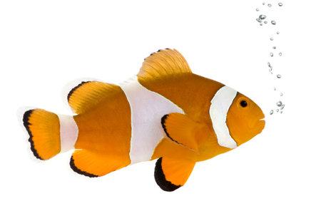 pez payaso: Clownfish delante de un fondo blanco  Foto de archivo