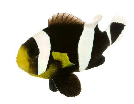 pez payaso: Saddleback Clownfish - Amphiprion polymnus delante de un fondo blanco
