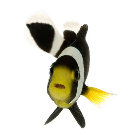 Saddleback Clownfish  - Amphipn polymnus in front of a white background