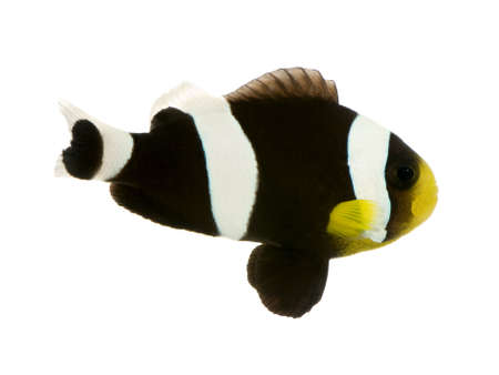 Saddleback Clownfish  - Amphiprion polymnus in front of a white background Stock Photo - 2113002