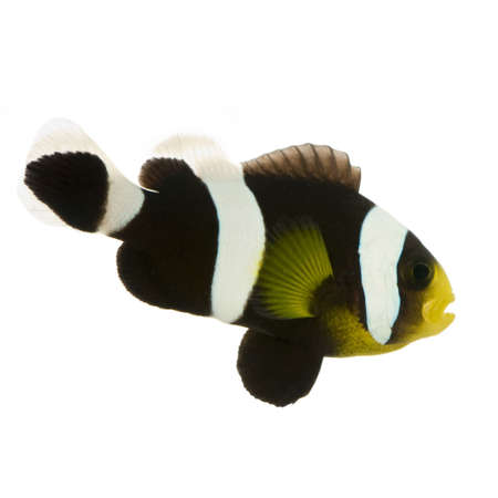 Saddleback Clownfish  - Amphiprion polymnus in front of a white background  photo