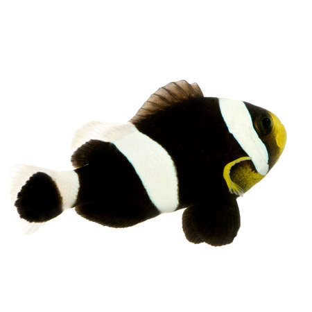 Saddleback Clownfish  - Amphiprion polymnus in front of a white background Stock Photo - 2112980