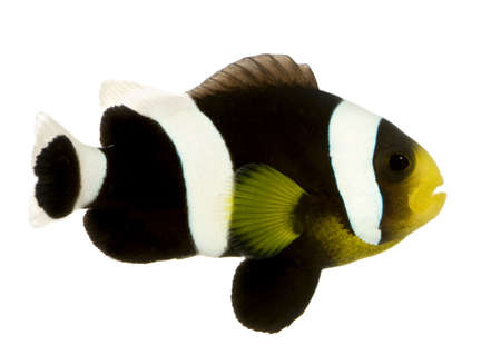 Saddleback Clownfish  - Amphiprion polymnus in front of a white background Stock Photo - 2112964