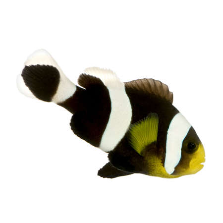 Saddleback Clownfish  - Amphiprion polymnus in front of a white background Stock Photo - 2112976