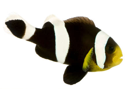 clown fish amphiprion: Saddleback Clownfish  - Amphiprion polymnus in front of a white background