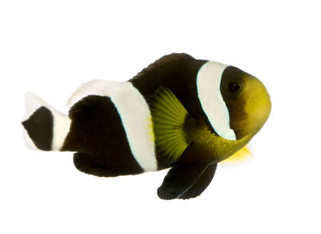 freshwater clown fish: Saddleback Clownfish  - Amphiprion polymnus in front of a white background