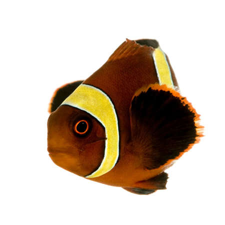 Gold stripe Maroon Clownfish - Premnas biaculeatus in front of a white background  photo