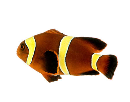 caudal: Gold stripe Maroon Clownfish - Premnas biaculeatus in front of a white background