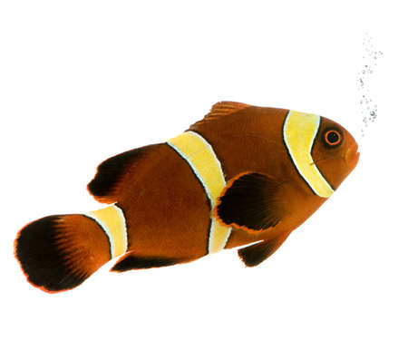 damsels: Gold stripe Maroon Clownfish - Premnas biaculeatus in front of a white background