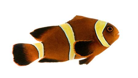 pez payaso: Gold banda Maroon Clownfish - Premnas biaculeatus delante de un fondo blanco  Foto de archivo