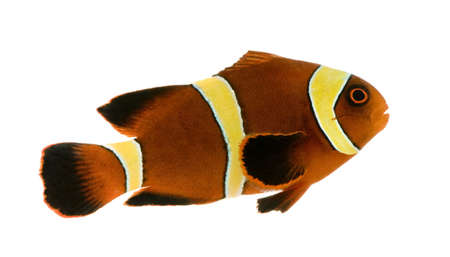 clown fish amphiprion: Gold stripe Maroon Clownfish - Premnas biaculeatus in front of a white background
