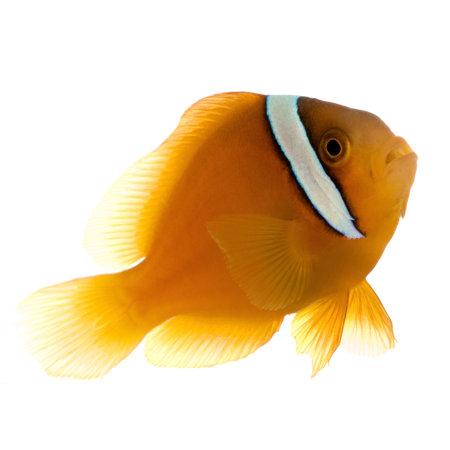 Saddle anemonefish - Amphipn ephippium in front of a white background Stock Photo - 2113017