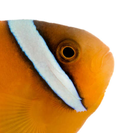 damsels: Saddle anemonefish - Amphiprion ephippium in front of a white background