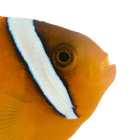 freshwater clown fish: Saddle anemonefish - Amphiprion ephippium in front of a white background