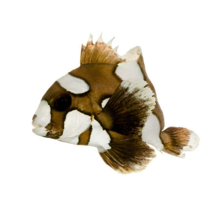 damsels: Harlequin or clown sweetlips in front of a white background