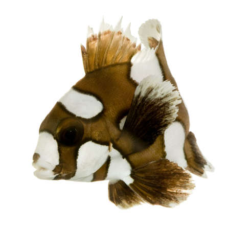 clown fish amphiprion: Harlequin or clown sweetlips in front of a white background