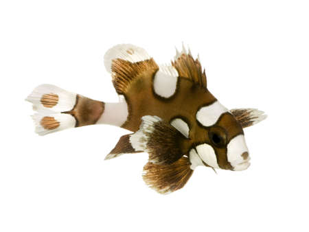 freshwater clown fish: Harlequin or clown sweetlips in front of a white background