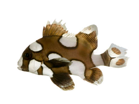 damselfish: Harlequin or clown sweetlips in front of a white background
