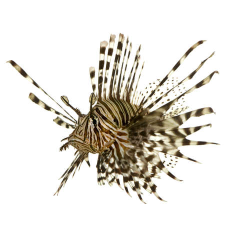 pterois volitans: Red lionfish - Pterois volitans in front of a white background  Stock Photo