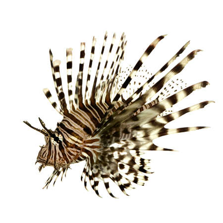 pterois: Red lionfish - Pterois volitans in front of a white background  Stock Photo