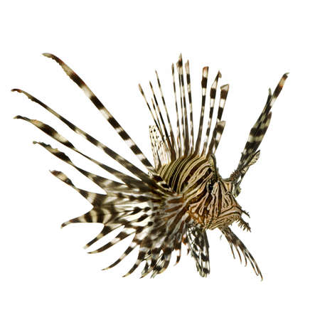 caudal: Red lionfish - Pterois volitans in front of a white background  Stock Photo