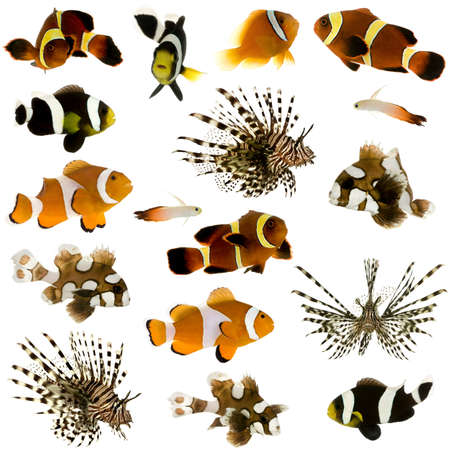 clown fish amphiprion: Collection of 17 tropical fish in different sizes and different positions in front of a white background
