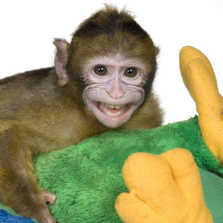 barbary ape:  Barbary Macaque (3 months) in front of a white background Stock Photo