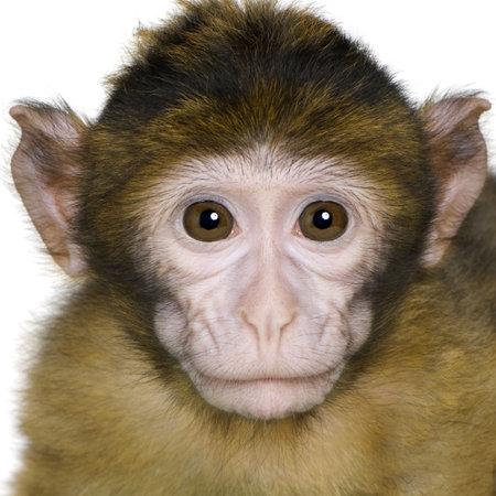 macaque: Macaque de Barbarie (3 mois) devant un fond blanc