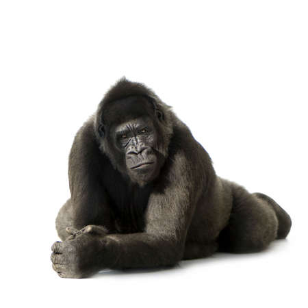 gorilla: Young Silverback Gorilla in front of a white background Stock Photo