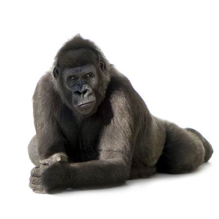 gorilla: Silverback gorila joven delante de un fondo blanco