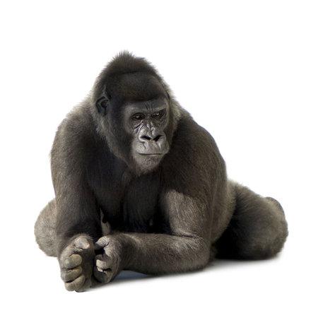 gorila: Silverback gorila joven delante de un fondo blanco