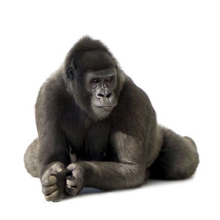 Young Silverback Gorilla in front of a white background Stock Photo