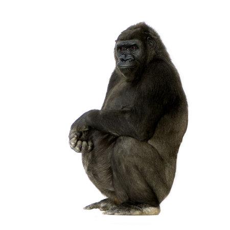 gorilla: Silverback Gorilla joven delante de un fondo blanco