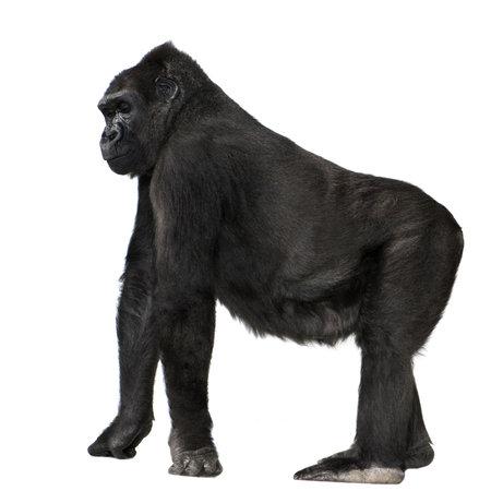 gorilla: Silverback Gorila j�venes delante de un fondo blanco Foto de archivo