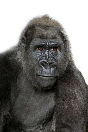 gorila: Young Silverback Gorilla delante de un fondo blanco Foto de archivo