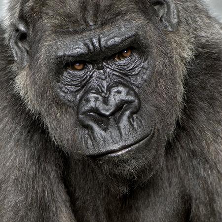 Silverback Gorila jóvenes delante de un fondo blanco